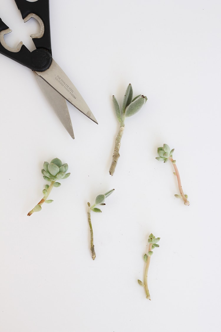 Succulent Clippings